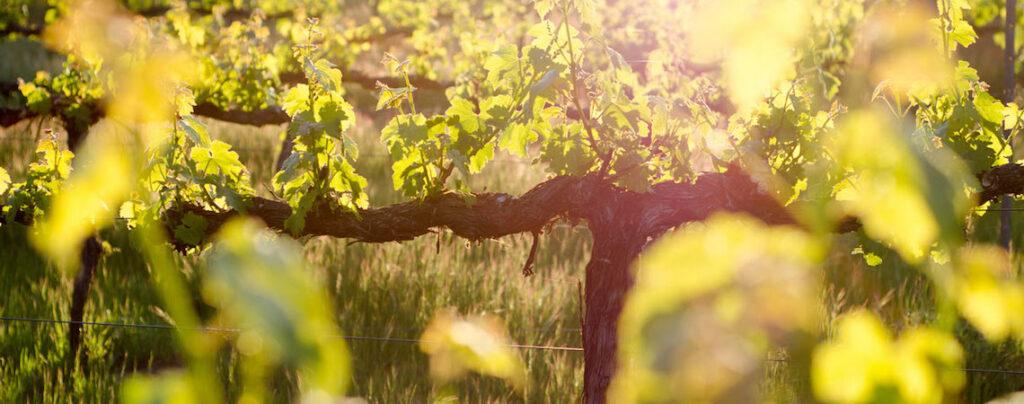 spicy vines sonoma
